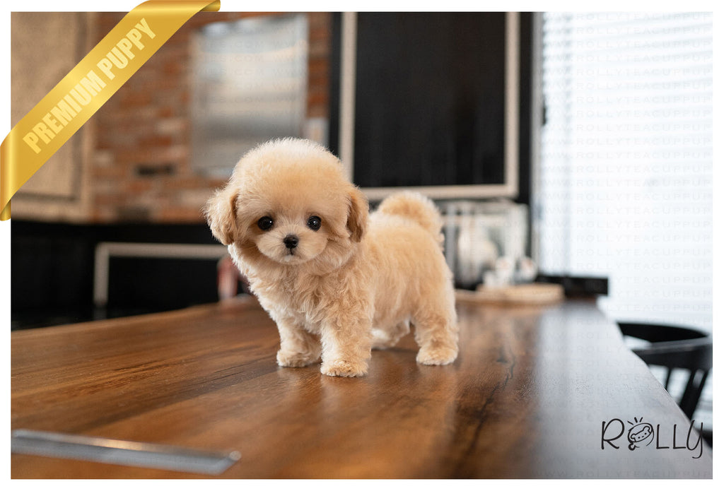 LUCY - Maltipoo. F - ROLLY PUPS INC