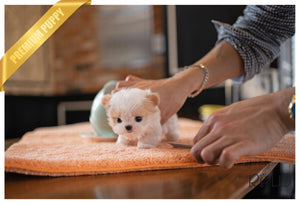 (PURCHASED by Kooshki) LULU - Maltipoo. F - Rolly Teacup Puppies - Rolly Pups