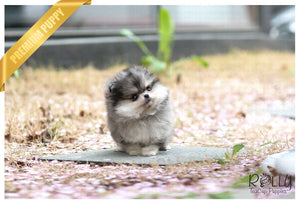 (Purchased by Parker) Luna - Pomeranian. F - Rolly Teacup Puppies