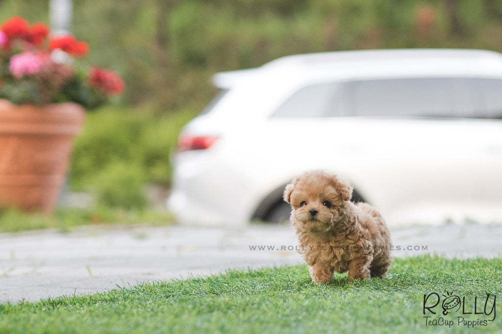 (SOLD to Awilda) Lala - Poodle. F - ROLLY PUPS INC