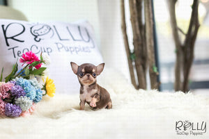(Purchased by Foty) Latte - Chihuahua. M - Rolly Teacup Puppies
