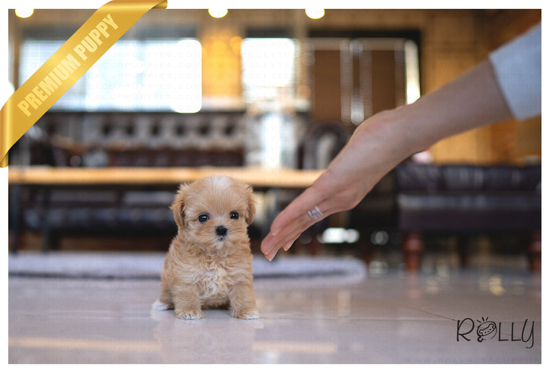 (PURCHASED by Ng) LATTE - Maltipoo. F - Rolly Teacup Puppies - Rolly Pups