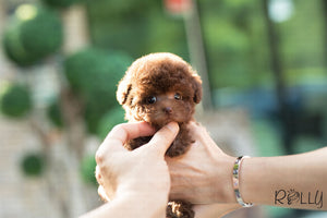 (Purchased by Fabregas) Latte - Poodle. F - Rolly Teacup Puppies