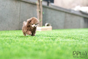 (SOLD to Lita) Latte - Poodle. M - ROLLY PUPS INC