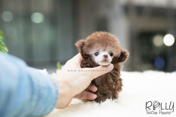 (SOLD to Lita) Latte - Poodle. M - Rolly Teacup Puppies