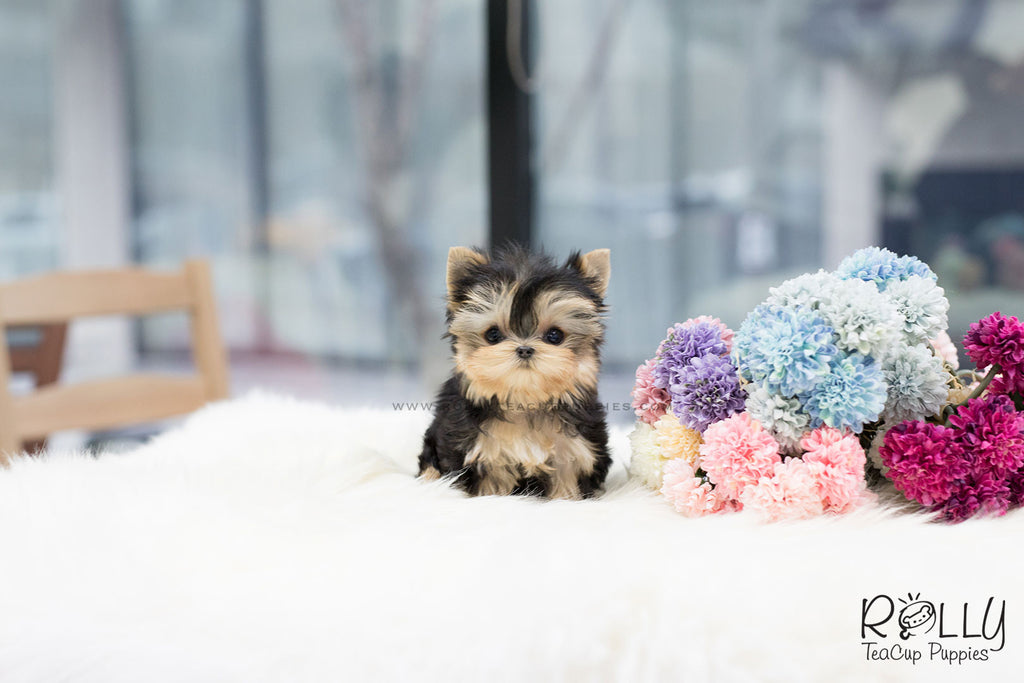 (SOLD to Feinberg) Leah - Yorkshire Terrier. F - Rolly Teacup Puppies