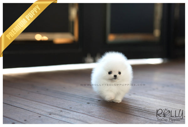 (SOLD to Martinez) Lena - Pomeranian. F - Rolly Teacup Puppies