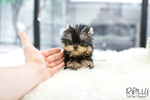 (SOLD to Carbajal) Lenny - Yorkie. M