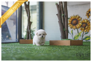 (Purchased by Kim) Leo - Bichon. M - ROLLY PUPS INC