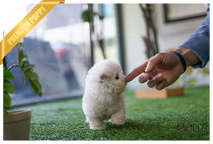 (Purchased by Kim) Leo - Bichon. M - Rolly Teacup Puppies
