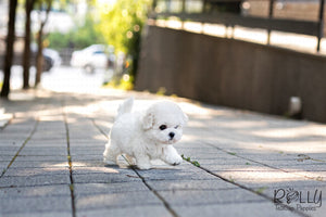 (SOLD to Kinanti) Leo - Bichon. M - Rolly Teacup Puppies
