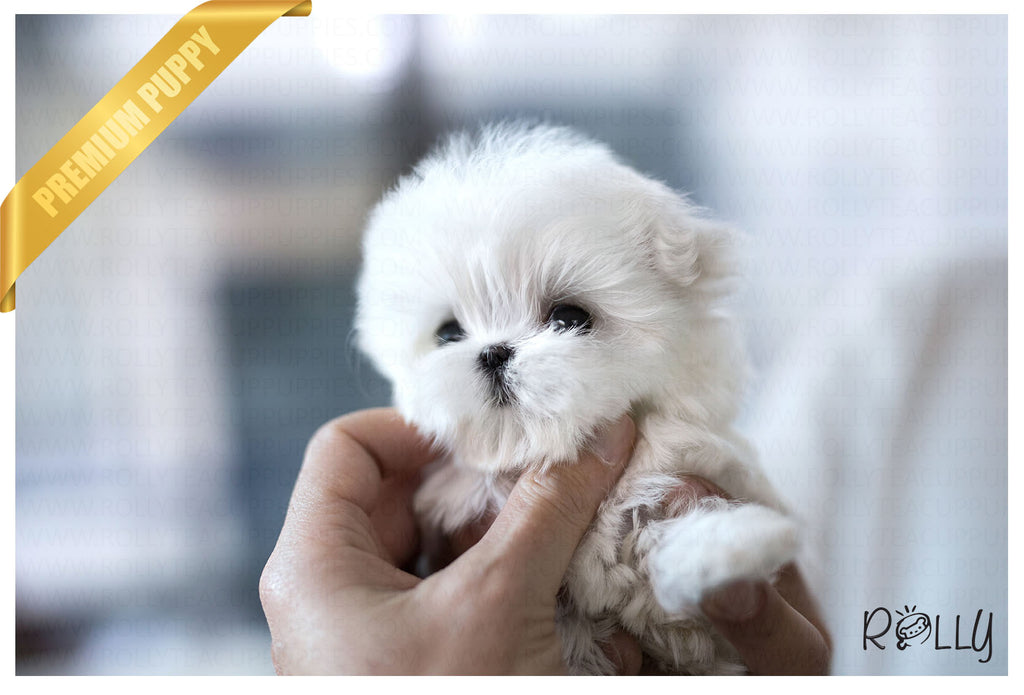 (Purchased by Rubio) Leo - Maltese. M - Rolly Teacup Puppies - Rolly Pups