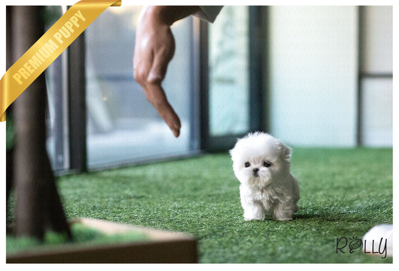 (Purchased by Rubio) Leo - Maltese. M - Rolly Teacup Puppies