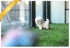 (RESERVED to Bell) Leo - Maltese. M - Rolly Teacup Puppies