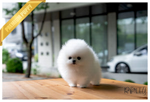 (PURCHASED by Nikita) LEO - Pomeranian. M - Rolly Teacup Puppies