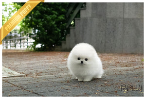(PURCHASED by Nikita) LEO - Pomeranian. M - Rolly Teacup Puppies - Rolly Pups
