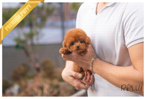 (PURCHASED by Sandher) LEWIS - Poodle. M - Rolly Teacup Puppies - Rolly Pups