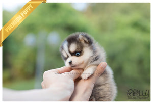(SOLD to Andre) Lexy - Pomsky. F - Rolly Teacup Puppies - Rolly Pups