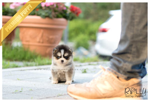 (SOLD to Andre) Lexy - Pomsky. F - Rolly Teacup Puppies
