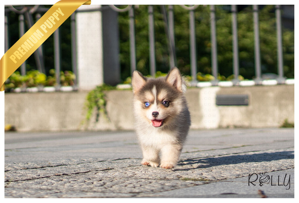 (PURCHASED by Warnakulasuriya) LILA - Pomsky. F - ROLLY PUPS INC