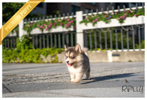 (RESERVED by Warnakulasuriya) Lila - Pomsky. F - Rolly Teacup Puppies - Rolly Pups