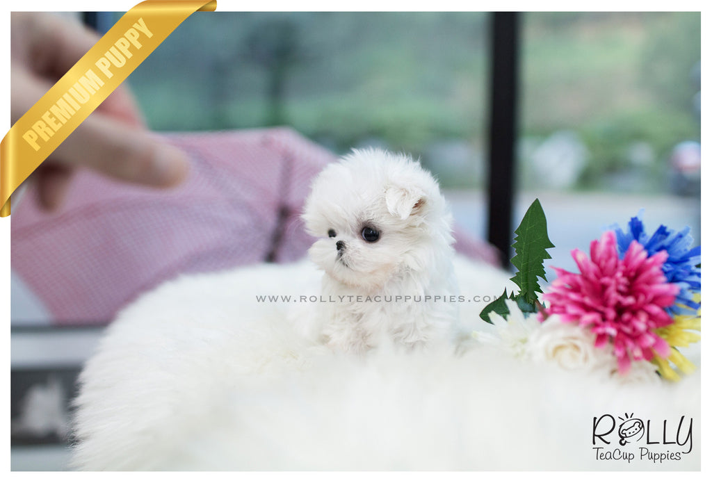(SOLD to Barrera) Lilly - Maltese. F - Rolly Teacup Puppies