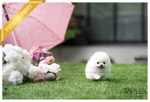 (SOLD to Shabo) Lilly - Pomeranian. F - Rolly Teacup Puppies