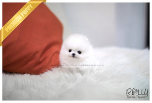 (SOLD to Shabo) Lilly - Pomeranian. F - Rolly Teacup Puppies - Rolly Pups