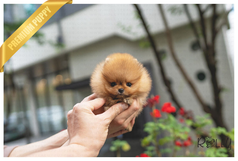 (Purchased by VIP) LILO - Pomeranian. F - Rolly Teacup Puppies - Rolly Pups