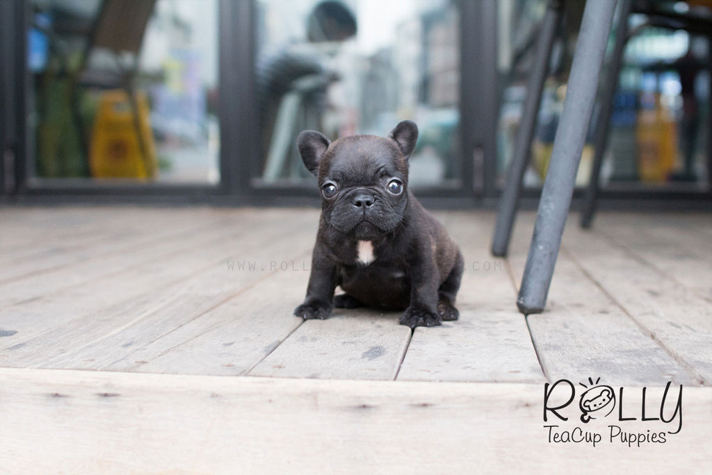 Lily - French Bulldog - Rolly Teacup Puppies