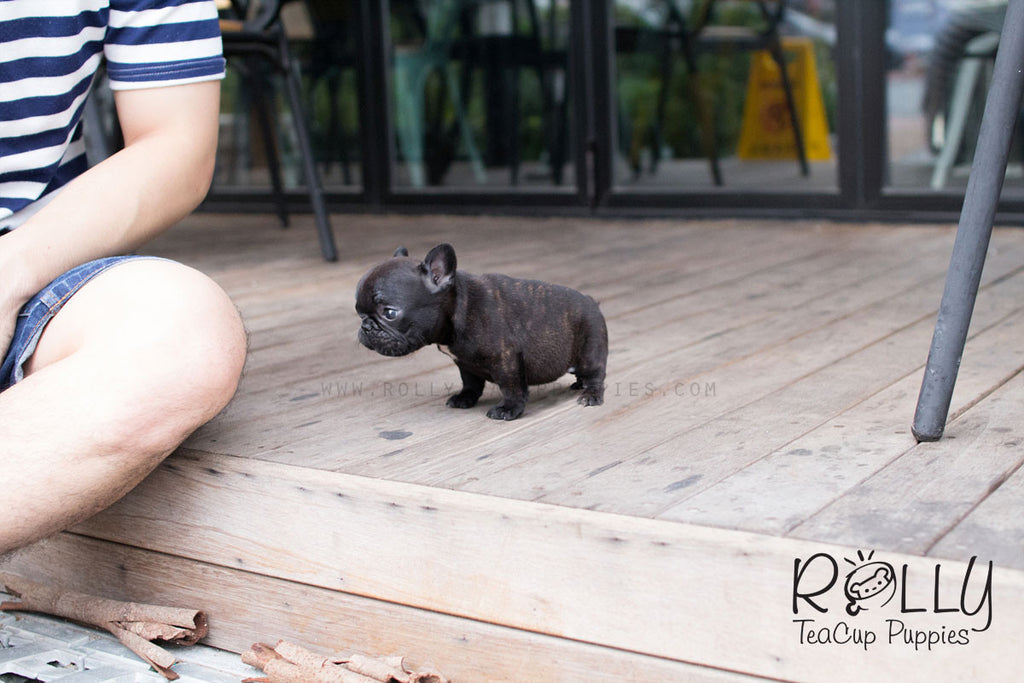 Lily - French Bulldog - Rolly Teacup Puppies - Rolly Pups