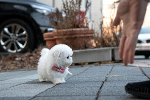 (Purchased by Widjaja) Lily - Maltichon. F - Rolly Teacup Puppies