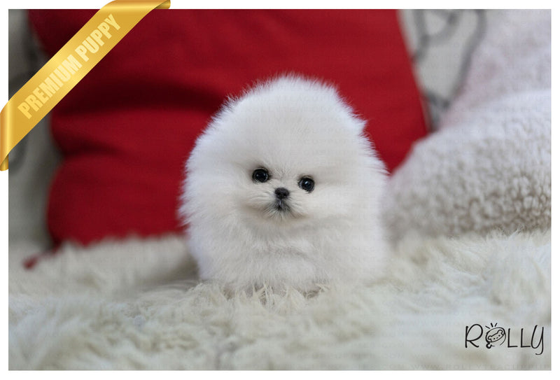 (Purchased by Bivolcic) Lily - Pomeranian. F - Rolly Teacup Puppies - Rolly Pups