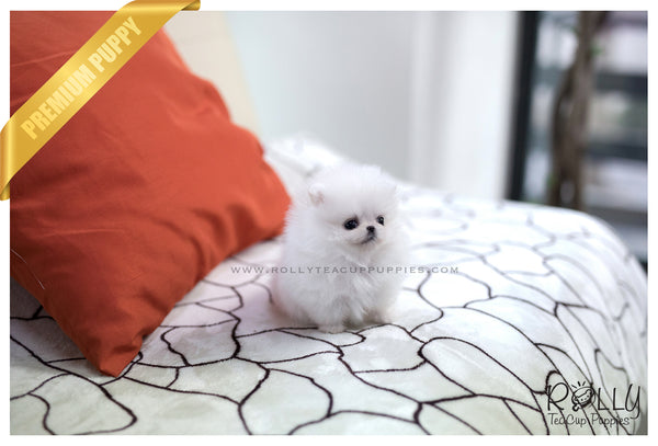 (SOLD to Kachler) Lily - Pomeranian. F - Rolly Teacup Puppies