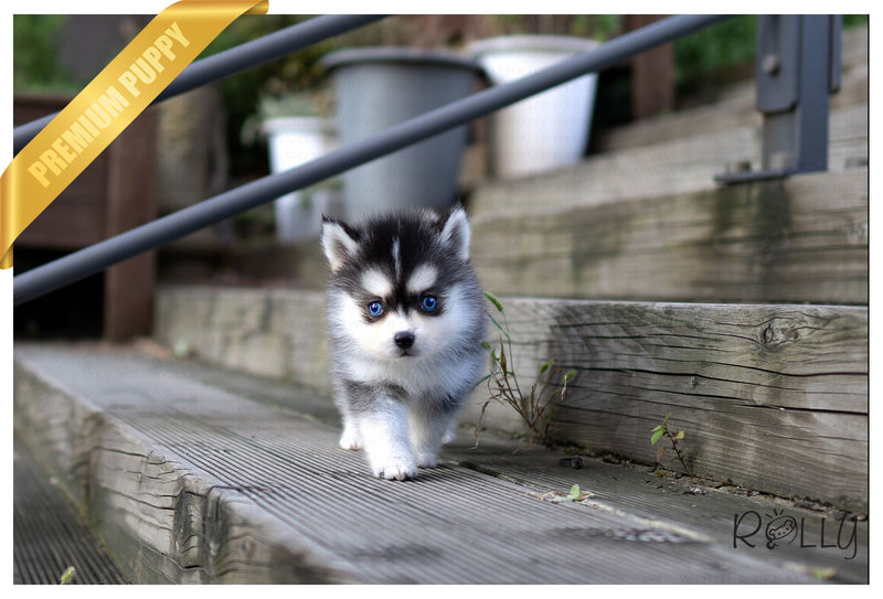 (RESERVED by Pareira) LINKS - Pomsky. M - Rolly Teacup Puppies - Rolly Pups