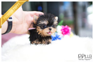 (SOLD to Renton) Livi - Yorkie. F - Rolly Teacup Puppies