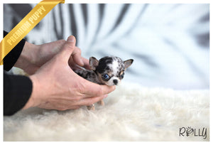 (Purchased to Darrell) Livie - Chihuahua. F - Rolly Teacup Puppies - Rolly Pups