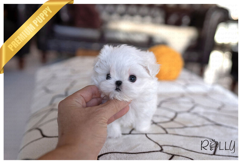 (RESERVED by Collier) LIZZIE - Maltese. F - Rolly Teacup Puppies - Rolly Pups