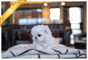 (PURCHASED by Collier) LIZZIE - Maltese. F - Rolly Teacup Puppies - Rolly Pups