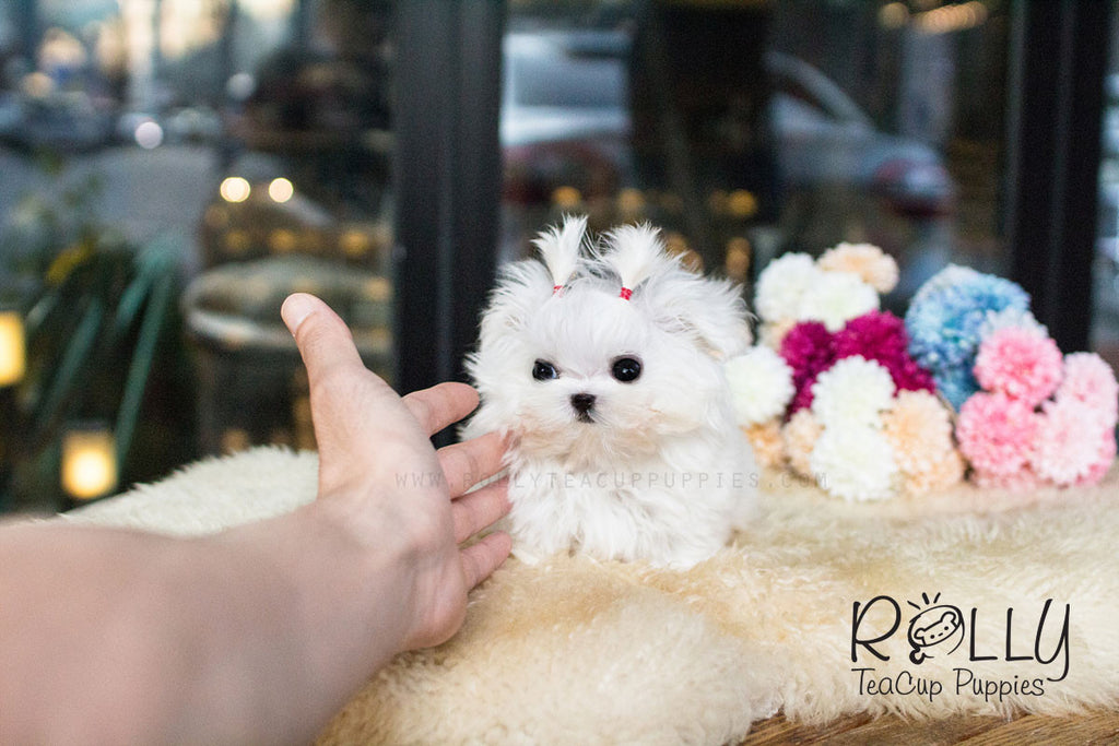 Lizzie - Maltese - Rolly Teacup Puppies - Rolly Pups