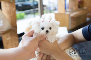 Lizzie - Maltese - Rolly Teacup Puppies
