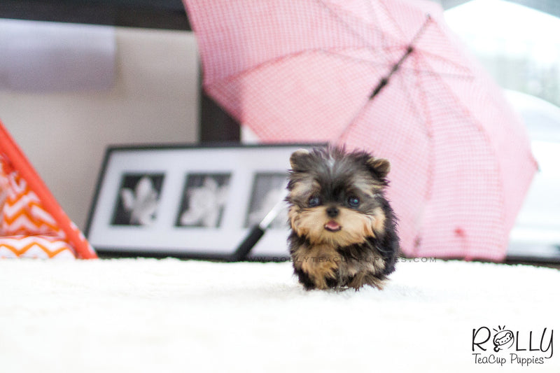 (SOLD to Martinez) Lizzie - Yorkie. F - Rolly Teacup Puppies - Rolly Pups