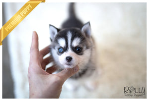(SOLD to Amro) Loki - Pomsky. M - Rolly Teacup Puppies - Rolly Pups