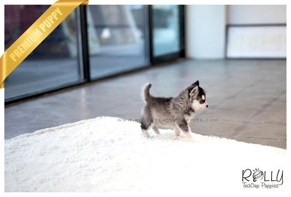 (SOLD to Amro) Loki - Pomsky. M - Rolly Teacup Puppies