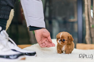 (Purchased by Santa) Lola - King Charles. F - Rolly Teacup Puppies