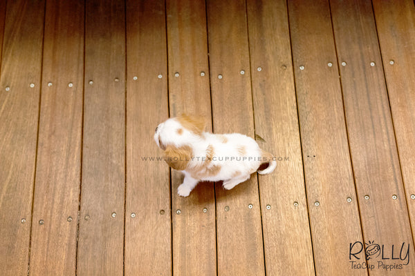 (SOLD to Cajigas) Lola - King Charles Jr. F
