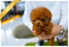 (PURCHASED by Vargas) LOLA - Poodle. F - Rolly Teacup Puppies - Rolly Pups