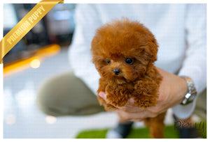 (RESERVED by Vargas) LOLA - Poodle. F - Rolly Teacup Puppies