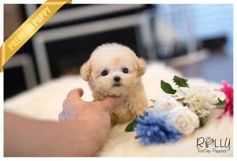 (Purchased by  Miller) Lola - Poodle. F - Rolly Teacup Puppies