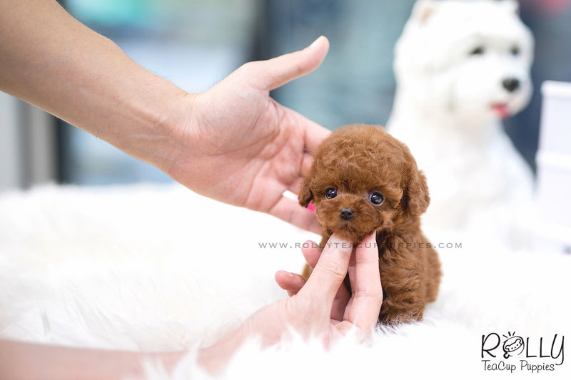 (SOLD to Hornbeck) Lola - Poodle. F - Rolly Teacup Puppies